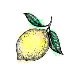 Sketch lemon vector