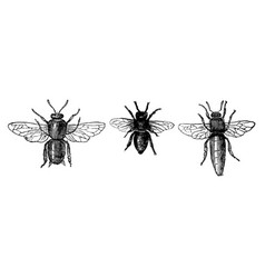 Vintage drawing or antique engraving honey bee vector