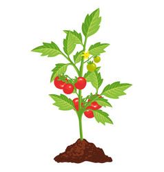 tomato bush icon with small red vegetables vector image
