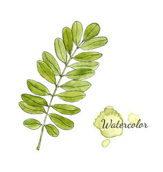 watercolor green acacia branch with leaves vector image