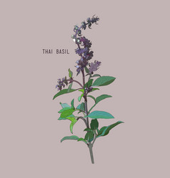 Thai basil vector