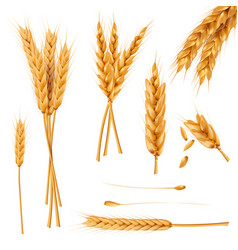 Wheat ears and seeds realistic collection vector