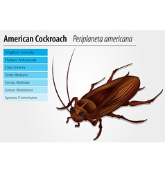Periplaneta Americana- Cockroach vector