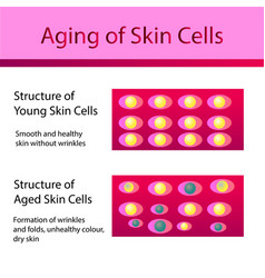 two types of skin cells young and aged skin vector image