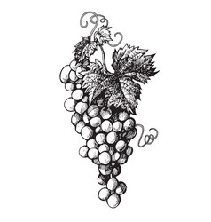 Hand drawn bunch grapes vector