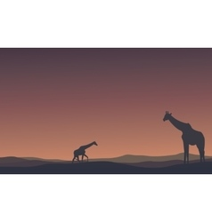 Landscape Giraffe at morning silhouettes vector image