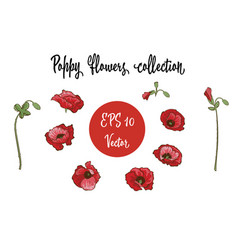 Poppy flower red poppies isolated on white vector