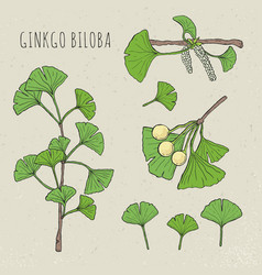 collection ginkgo biloba vector image