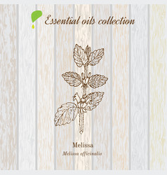 Melissa essential oil label aromatic plant vector
