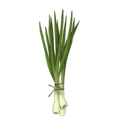 Hand drawn spring onions bunch vector