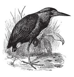 Green heron vintage vector