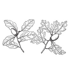 Branch of blue oak vintage vector