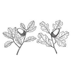 Branch of coastal sage scrub oak vintage vector