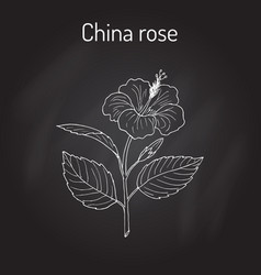 china rose hibiscus rosa-sinensis or vector image