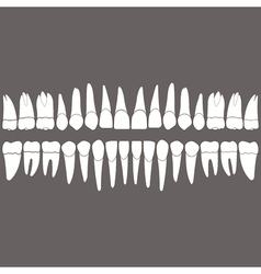Dentition teeth vector