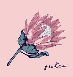 Protea hand-drawn flower botanical wedding vector