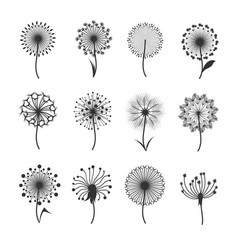 Dandelion flowers with fluffy seeds black floral vector