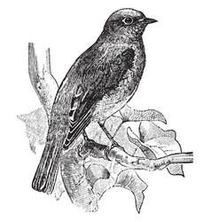 Eastern bluebird vintage vector