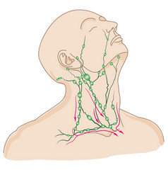 lymph nodes of head and neck vector image