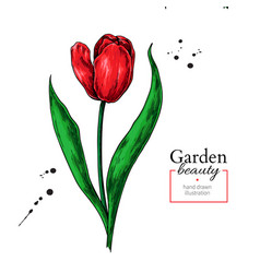 tulip red flower and leaves drawing hand vector image