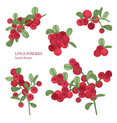 lingonberry set detailed hand drawn branches with vector image