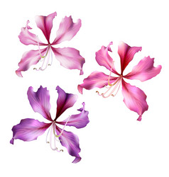 pink bauhinia purpurea flowers vector image