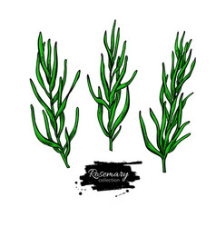 Rosemary drawing set isolated plant with vector