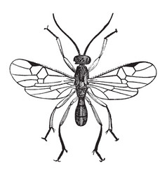 Male adult parasite wasp vintage vector