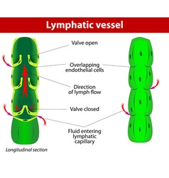 lymphatic vessel vector image