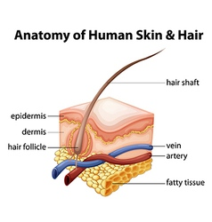Anatomy of Human Skin and Hair vector image