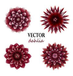 Dark red dahlias collection vector