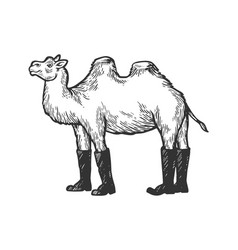 camel animal in high boots engraving vector image