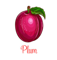 plum fruit sketch isolated icon vector image vector image