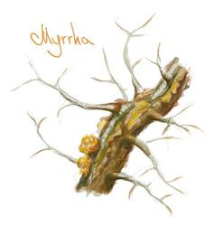 commiphora myrrha tree with resin watercolor vector image vector image