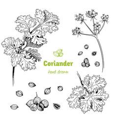 Coriander hand drawn set vector