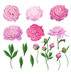 Floral elements set pink blooming peony flowers vector