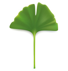 ginkgo biloba leaf isolated on white vector image