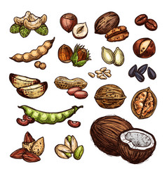 nuts and bean seeds natural sketch vector image