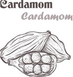 Cardamom spice Sketch style of cardamom vector