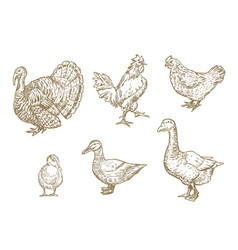 hand drawn domestic birds set a collection of vector image