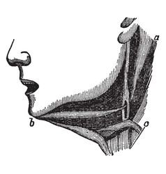 Muscles of the lower jaw vintage vector