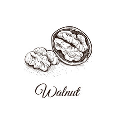 Walnut sketch hand drawing vector