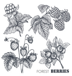 Collection of hand drawn sketched berries vector