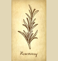 ink sketch of rosemary vector image
