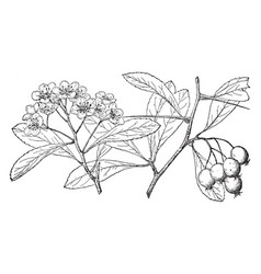 Branch cockspur thorn vintage vector