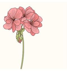 Pink geranium flower drawing vector image