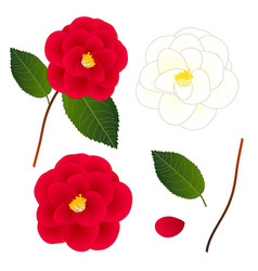 white and red camellia flower isolated on white vector image vector image