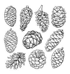 Fir pine cone hand drawn set vector
