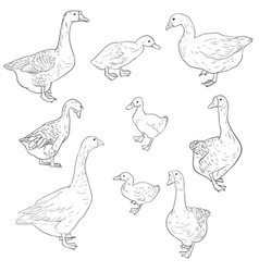 Sketch of geese ducks and goslings vector
