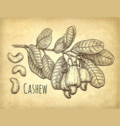 Cashew branch and nuts vector